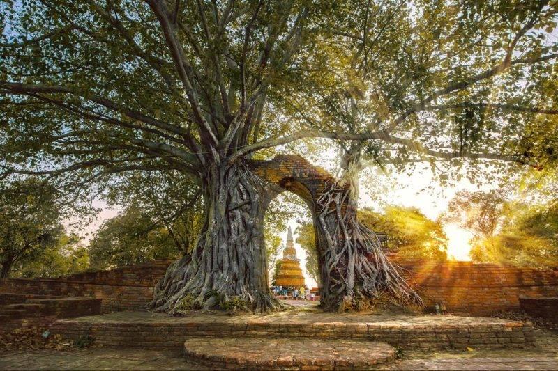 L'arbre Asvattha ou Bodhi dans les religions indiennes.