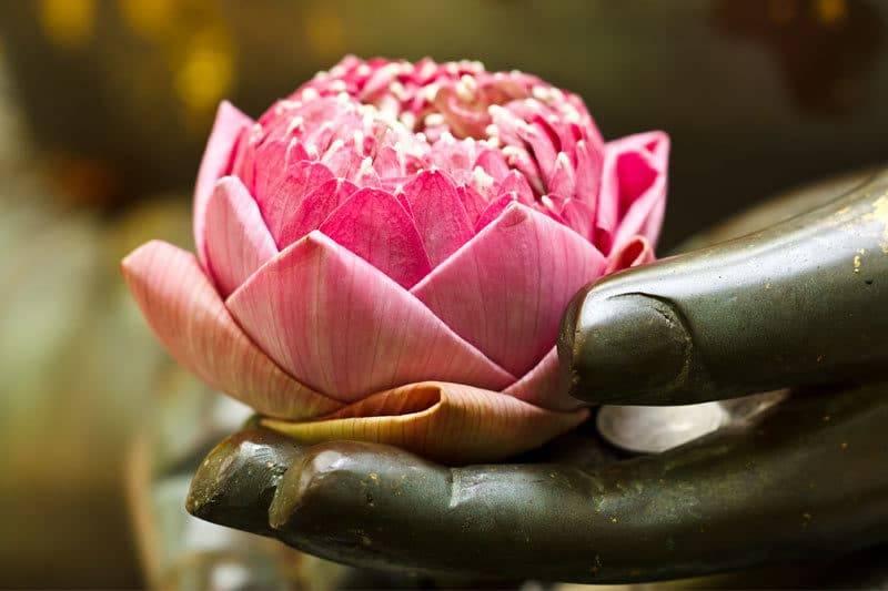 Fleur de lotus rose dans la main de bouddha