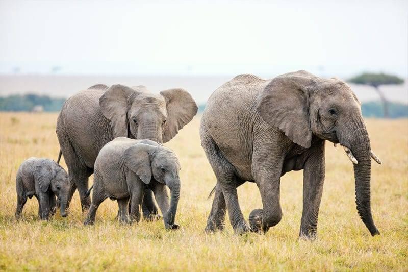 Famille de quatre éléphants dans la savane