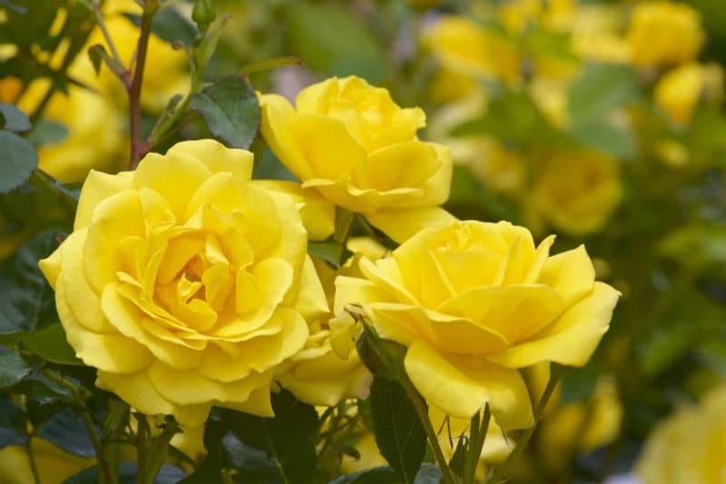 Roses jaune